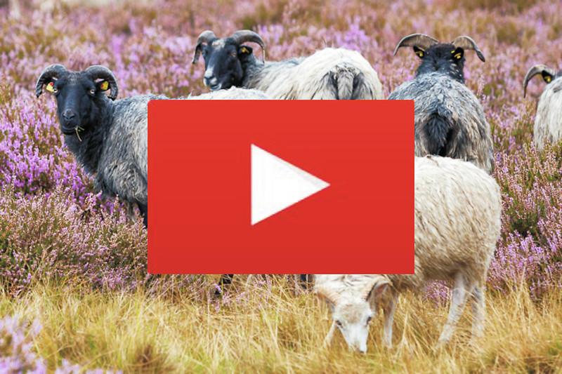 Videodreh mit Heidschnucken in blühender Heide